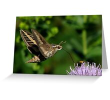 White-lined Sphinx Hummingbird Moth Greeting Card