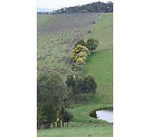 Valley Vineyard Photographic Print