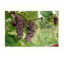 Vineyard Grapes Art Print