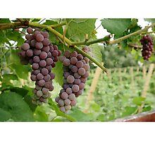 Vineyard Grapes Photographic Print