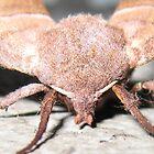 Sphinx Moth up close by debiskids