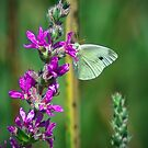 White Cabbage Butterfly by Rich Summers