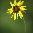 Sunflower by Rich Summers
