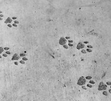 Panther footprints  by VikaL