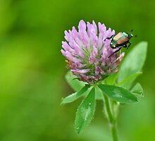 Japanese beetle on purple clover by mltrue