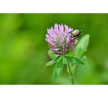 Japanese beetle on purple clover Photographic Print