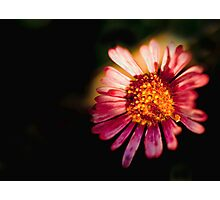 Daisy in the Dark Photographic Print