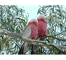 Galahs at rest Photographic Print