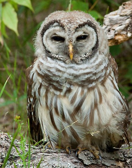 Barred Owl (poor little bird with a broken wing) by Wayne Wood