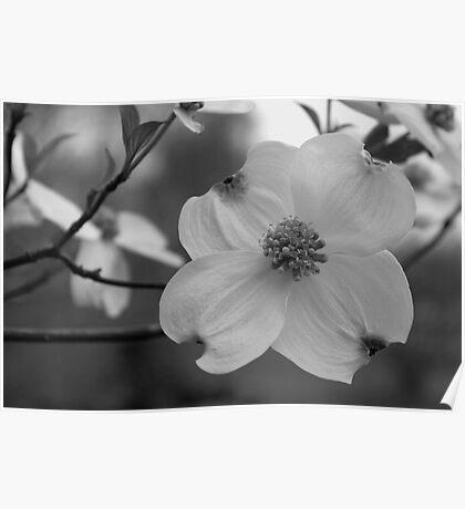 Dogwood Blossom in Black & White Poster