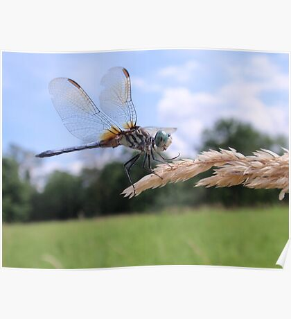 Blue Dasher on Seed Head Poster