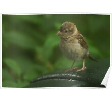 Wet Sparrow Poster