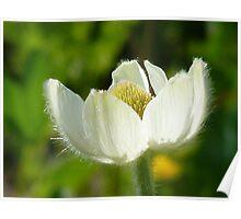 Pasqueflower Poster