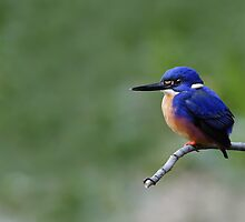Azure Kingfisher by Jeremy Weiss