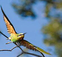 Bee-Eater Flight by Scott Carr