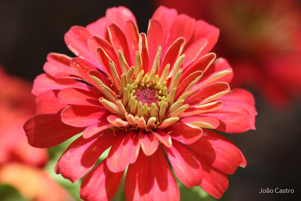 Red flower 2418 by João Castro