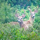 Young Bucks by Halie Hovenga