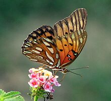 Gulf Fritillary by DottieDees