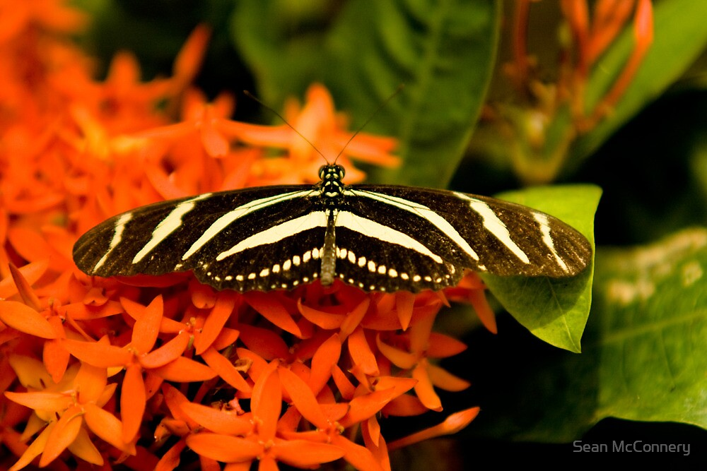 Zebra Longwing Butterfly  by Sean McConnery