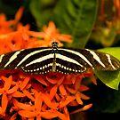 Zebra Longwing Butterfly  by Sean McConnery