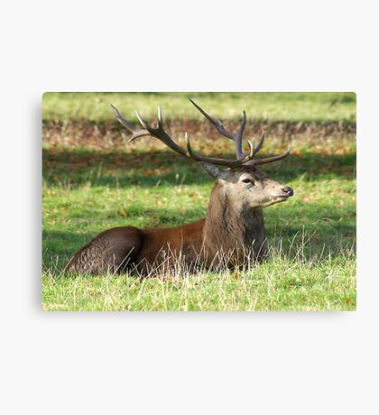 Resting - Red Stag Canvas Print