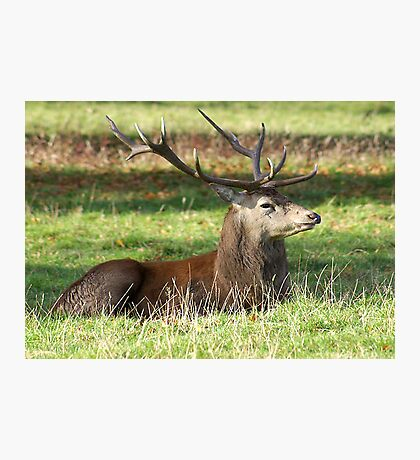 Resting - Red Stag Photographic Print