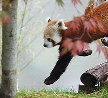 Red Panda by neva2010