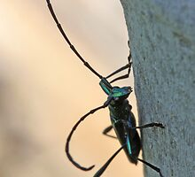 Emerald Longhorn beetle by Etwin