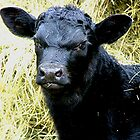 Future Herd Sire by Janice Carter