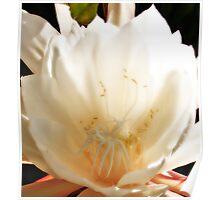 Epiphyllum 3 Poster