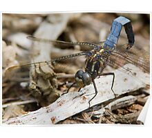 Male Keeled Skimmer Poster