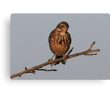 The Meadow Pipit  Canvas Print