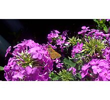 Moth on a flower 2 Photographic Print