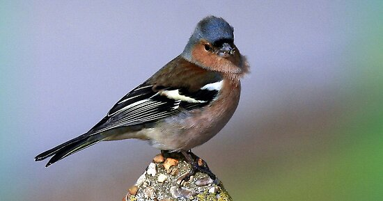 The Chaffinch  by snapdecisions