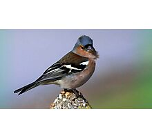 The Chaffinch  Photographic Print