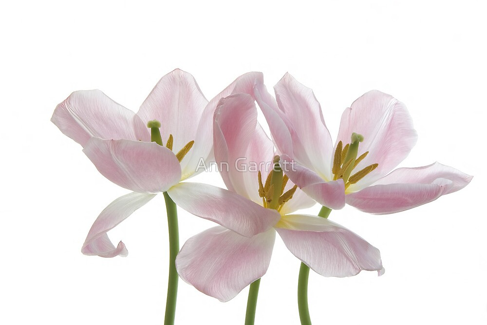 Three Pink Tulips by Ann Garrett