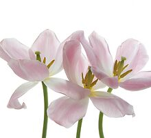 Three Pink Tulips by Ann Garrett
