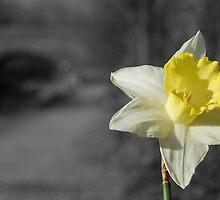 Mono daffodil by Rob Hawkins
