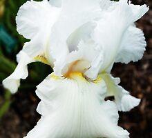 Glowing white iris. by beatrice11