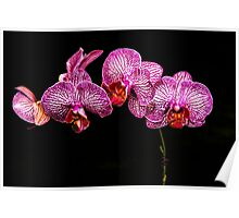 Orchid 1536 Poster