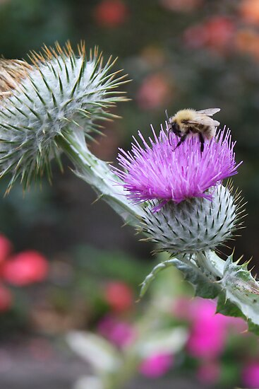 Bee on a Thistle by Tom Gomez