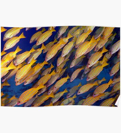 Blue Striped Snappers Poster