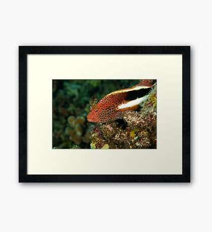 Stocky Hawk Fish Framed Print
