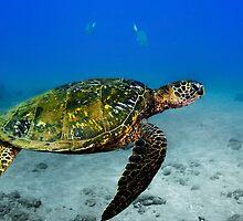 Green Sea Turtle by Greg Amptman