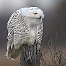 Silent Killer/Snowy Owl by Gary Fairhead