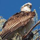 Osprey by kirribas30