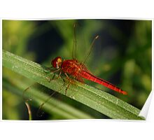 Red dragon fly Poster