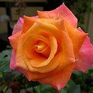 Orange Rose by Esperanza Gallego