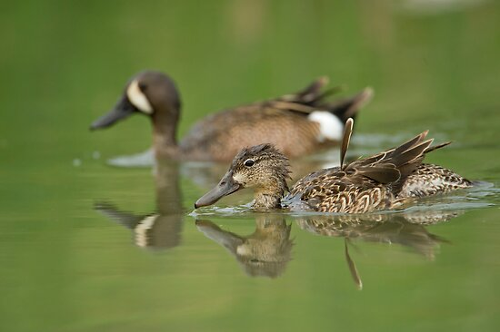 Blue-winged teal ducks by Daniel  Parent