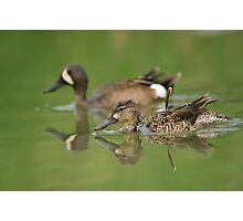 Blue-winged teal ducks Photographic Print